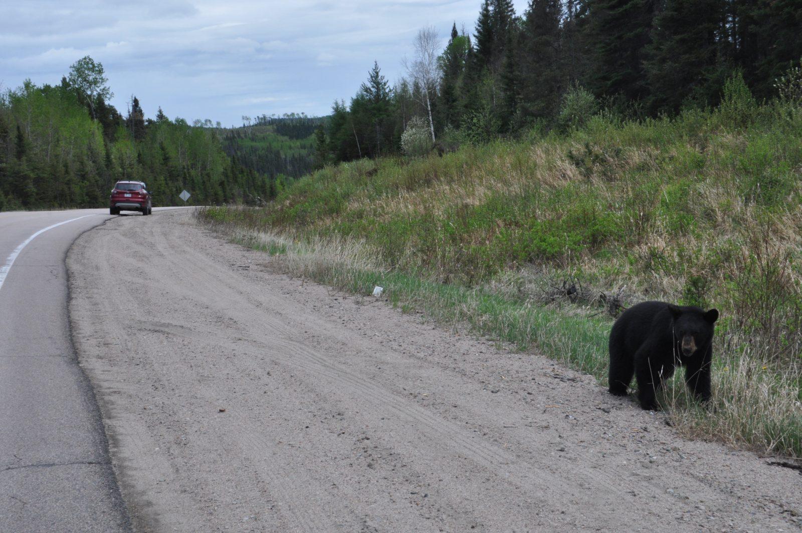 L'ours noir a quitté sa tanière