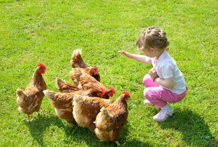 Bienvenue aux poules urbaines