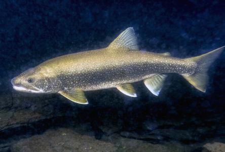 La pêche hivernale au touladi maintenant interdite sur le lac aux Dorés